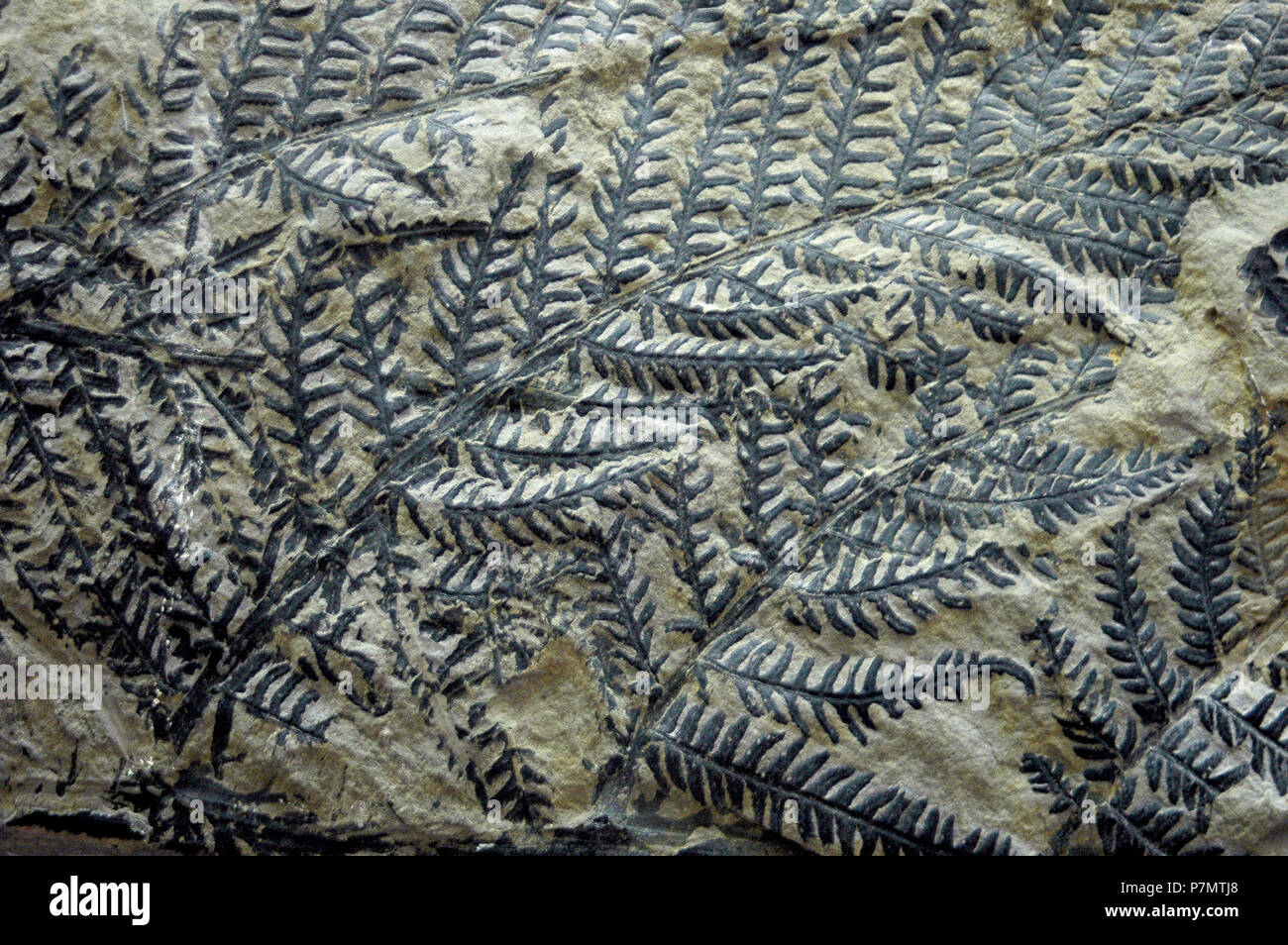 Fossil of fern Dactylotheca sp Stock Photo