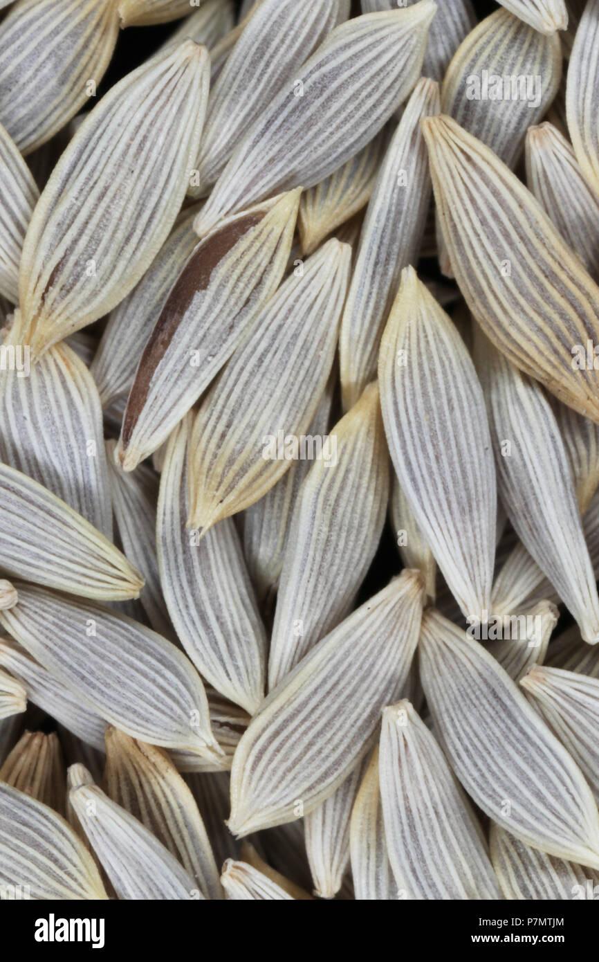 Seeds of Garden Lettuce (Lactuca sativa var. crispa) - Stock Image