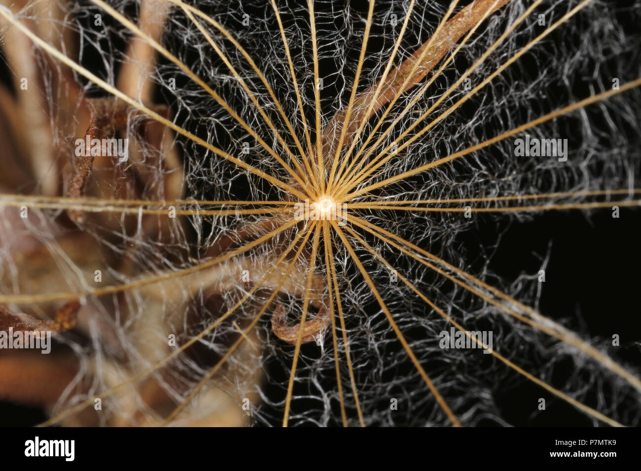 Fluff of achene of Goat's-beard (Tragopogon pratensis) - Stock Image