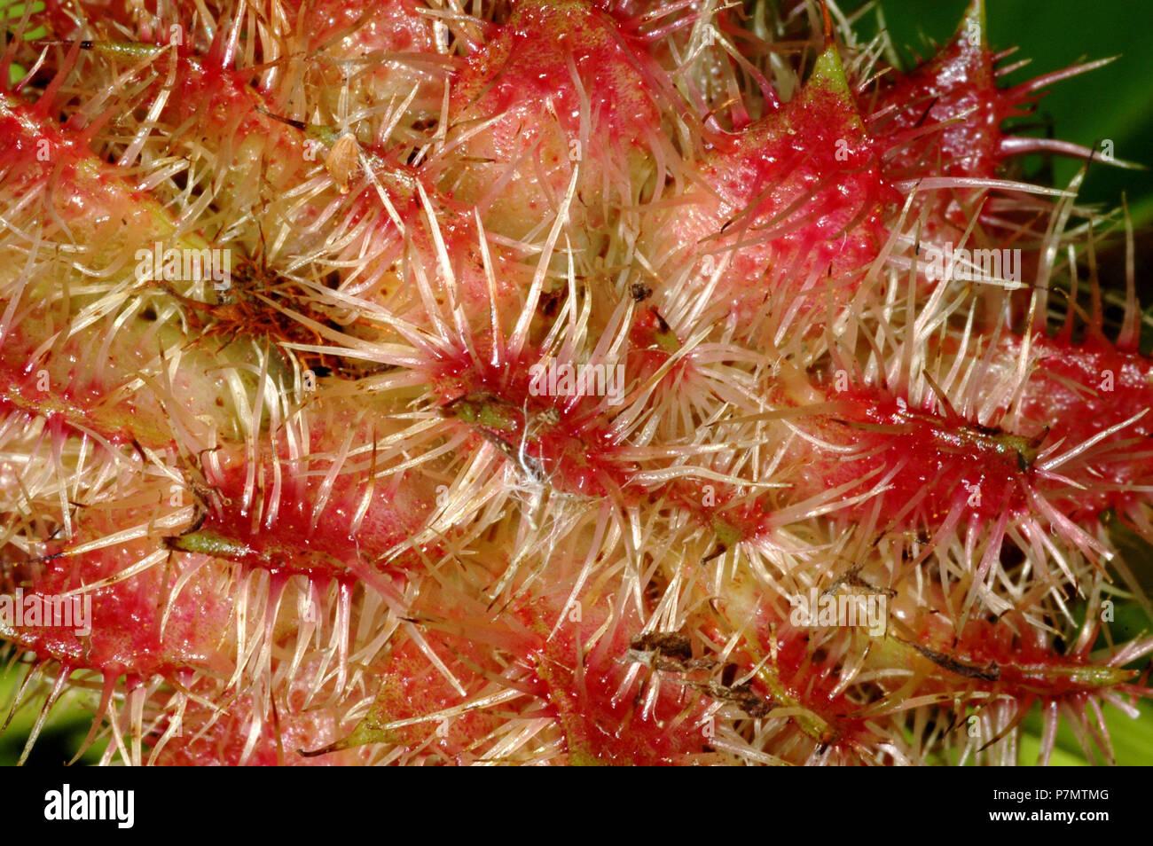 Fruits of Liquorice (Glycyrrhiza glabra) Stock Photo