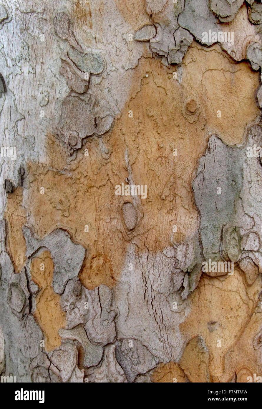 Rhytidome of London Planetree (Platanus × hispanica) - Stock Image