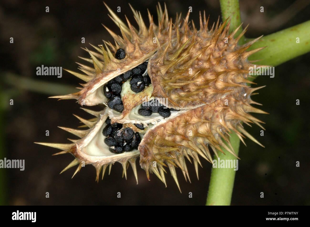 Capsule with seeds of Thorn-apple (Datura stramonium) - Stock Image