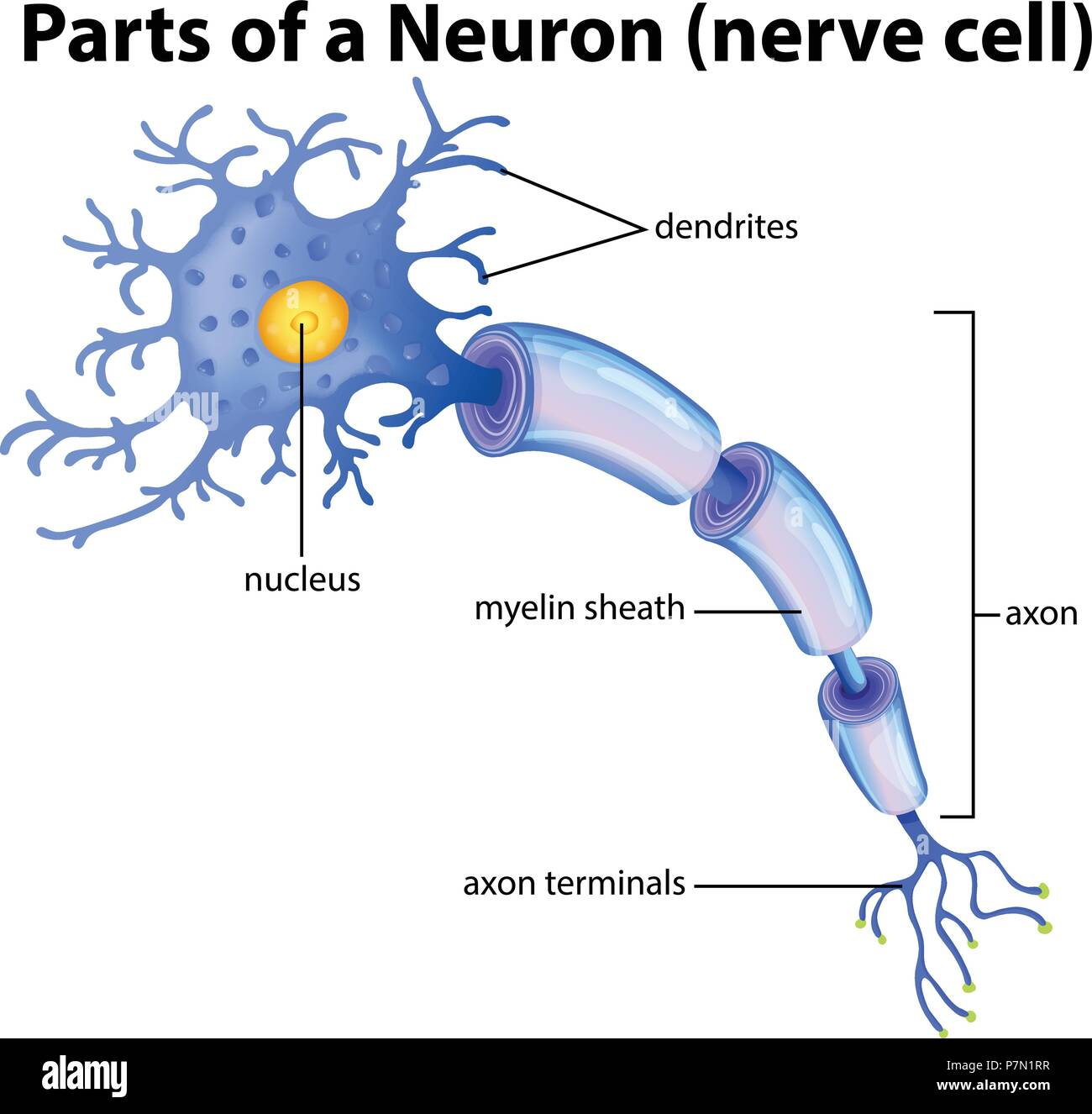 part of a neuron diagram illustration stock vector art