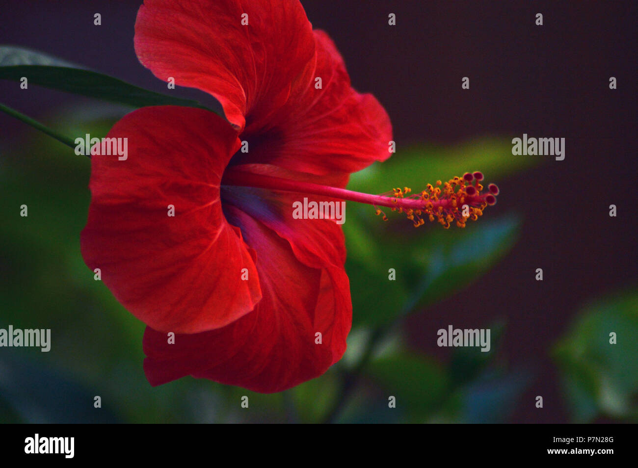 Hawaiian Red Hibiscus Stock Photos Hawaiian Red Hibiscus Stock