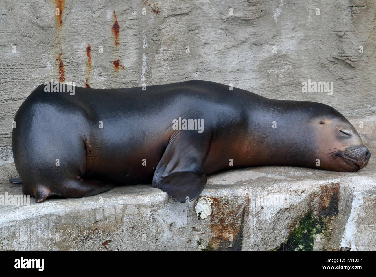 Sleepy Seal Stock Photo