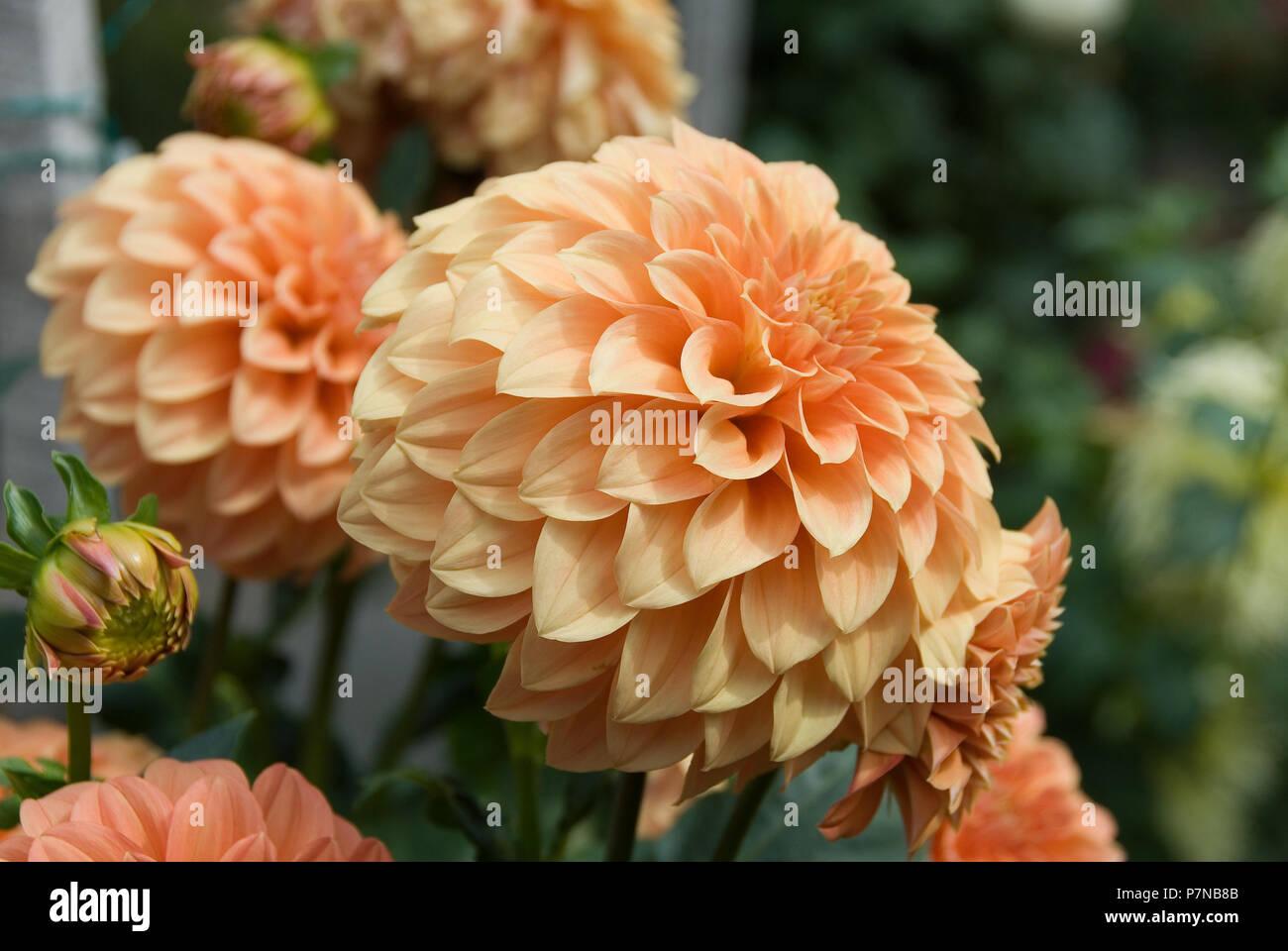 Orange Dahlia Flowers South Australia Stock Photo 211296859 Alamy