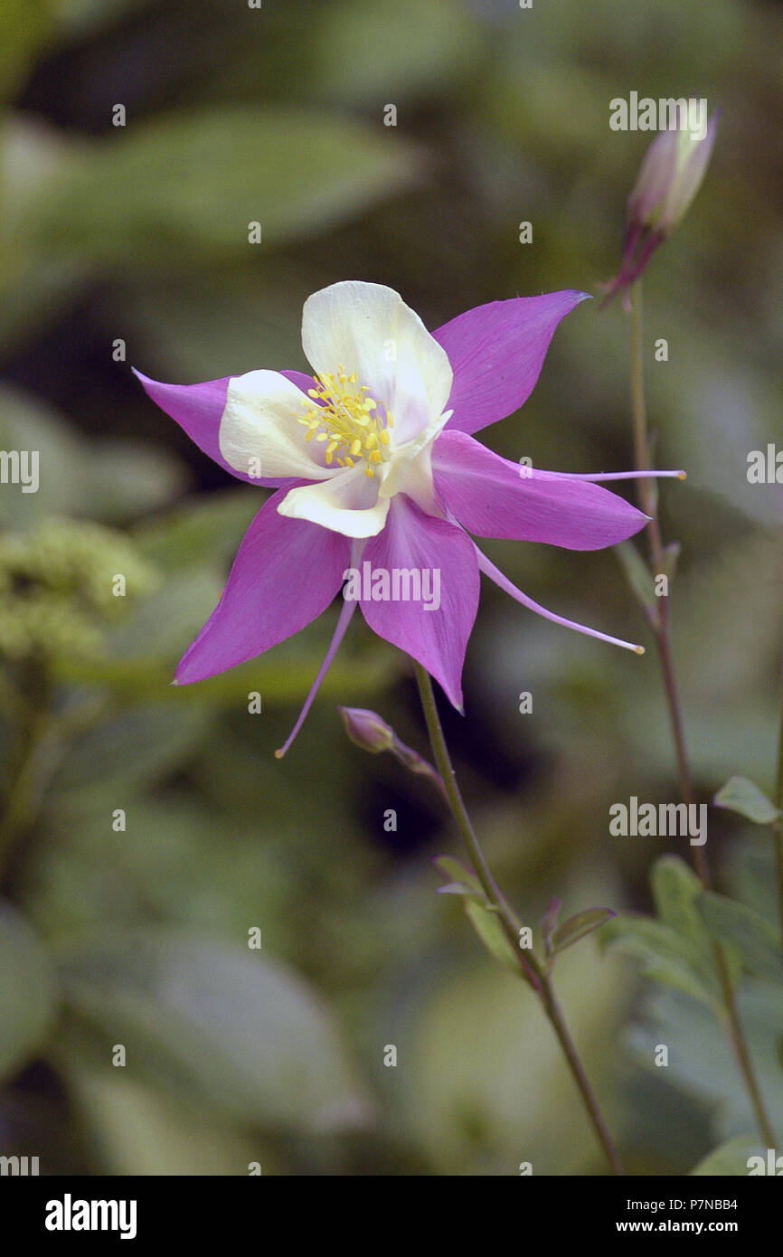 Columbine flower or grannys bonnet aquilegia stock photo columbine flower or grannys bonnet aquilegia izmirmasajfo
