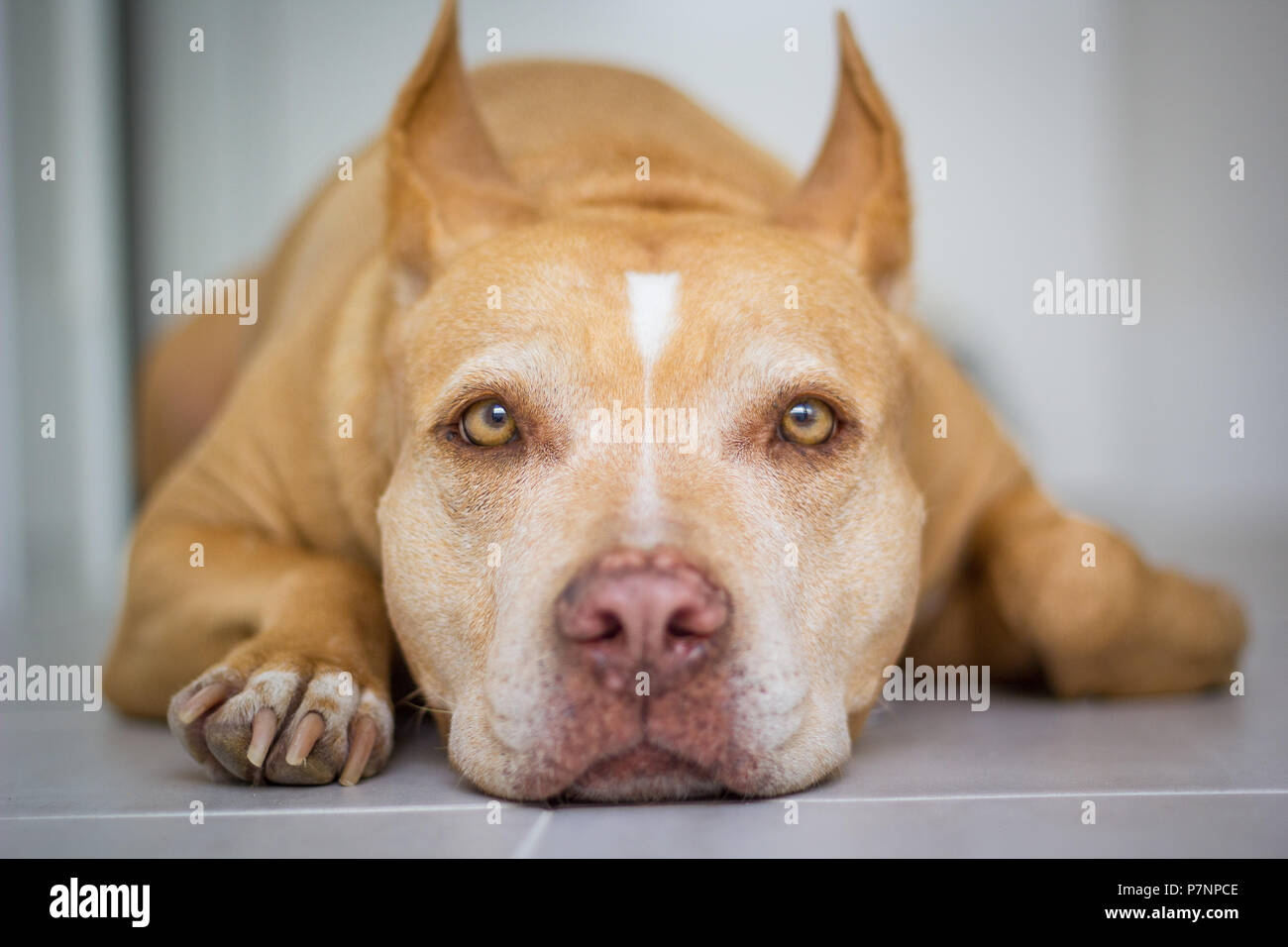 Red nose American pit bull terrier dog laying down looking into camera - Stock Image