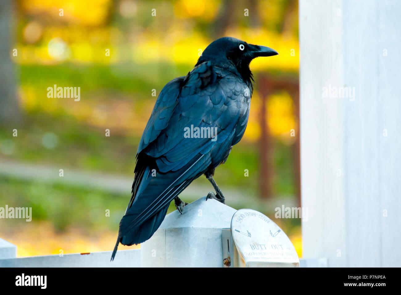 Australian Raven - Perth - Stock Image