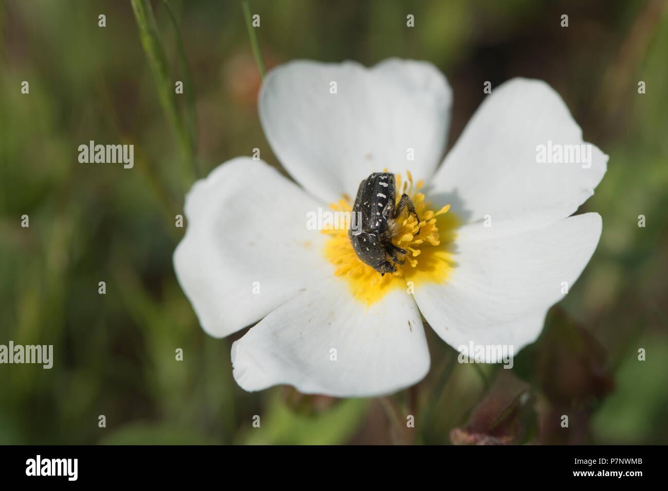 Cistus officinalis with rose beetle (Oxythyrea funesta), Mazzola, Corsica, France - Stock Image
