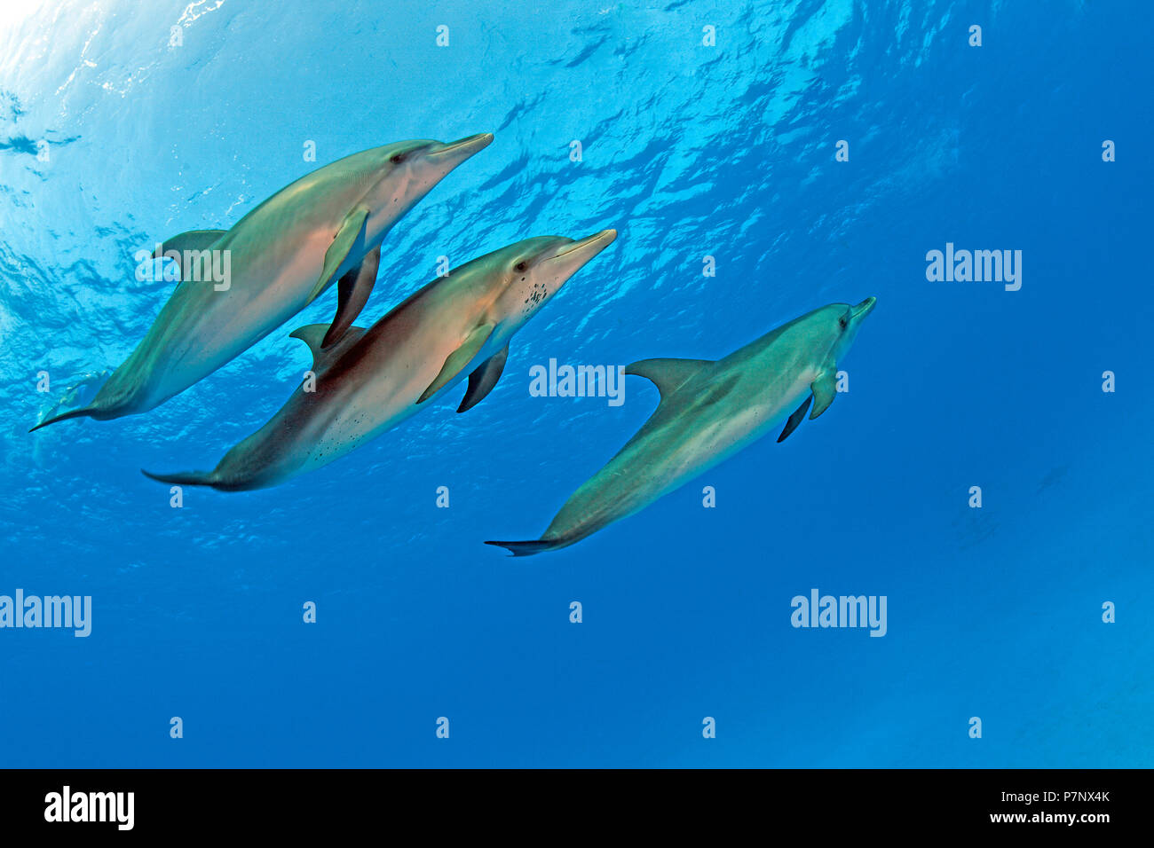 Atlantic spotted dolphin (Stenella frontalis), Grand Bahama, Bahamas - Stock Image