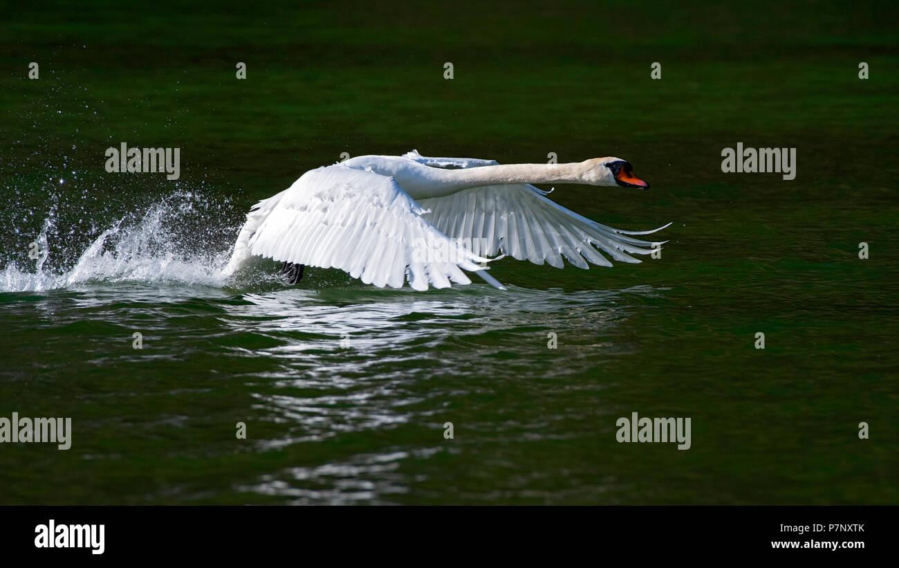 Mute swan (Cygnus olor), male starting from the water, Reintaler See, Tyrol, Austria - Stock Image