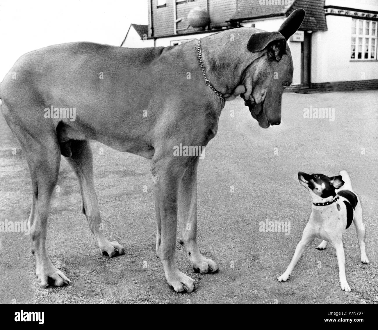 Great Dane and little Jack Russell Terrier looking at each other, England, Great Britain - Stock Image