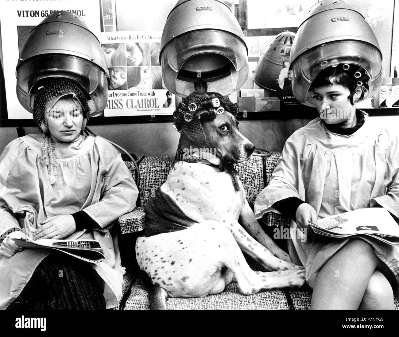 Dog with curlers at the hairdresser, under the hood, between two ladies, England, Great Britain - Stock Image