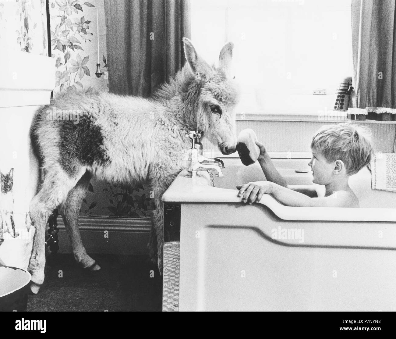 Child baths in bath tub with donkey standing in the bathroom, England, Great Britain - Stock Image