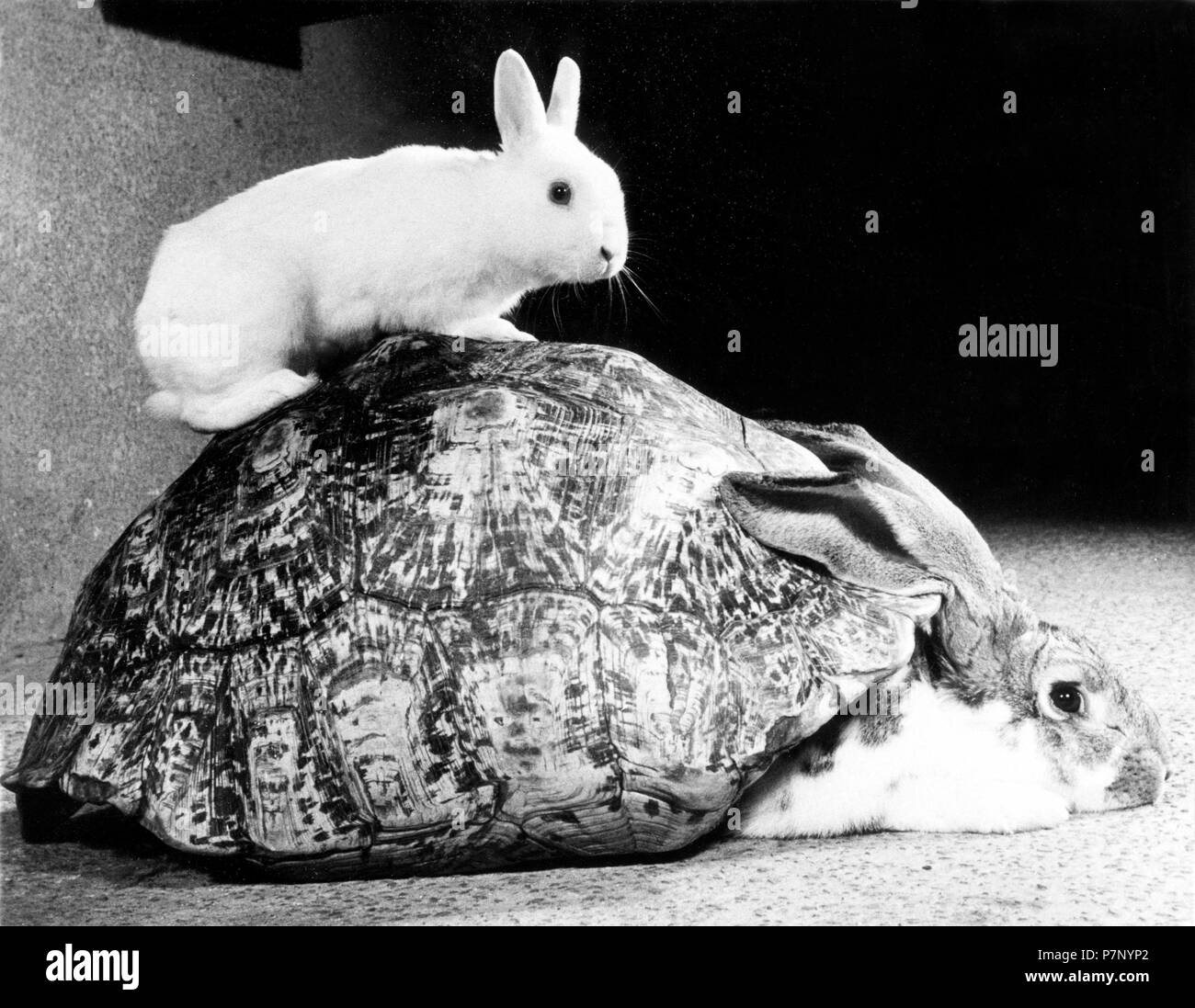 Rabbits playing with a turtle shell, England, Great Britain