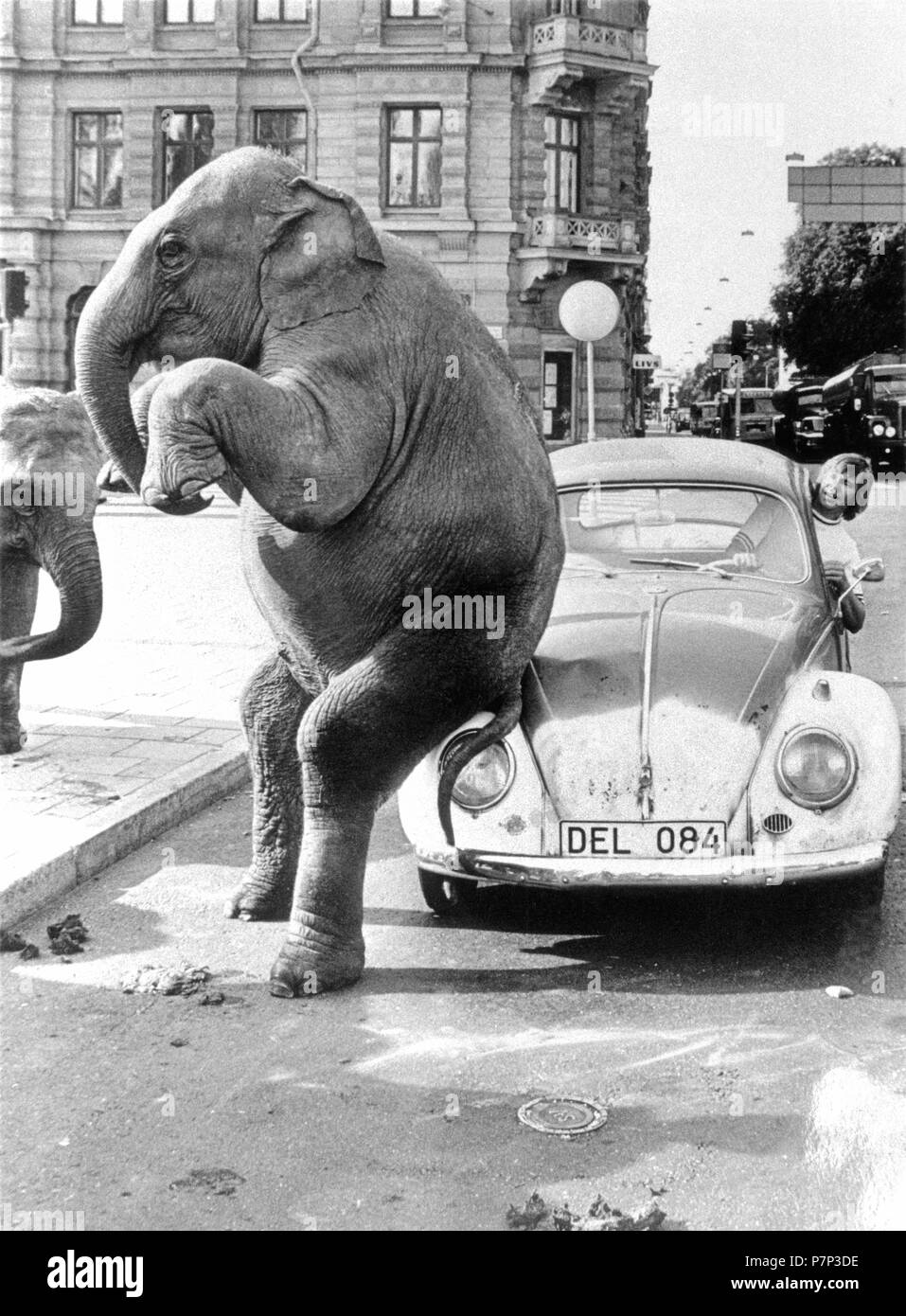 Elephant on VW, ca. 1950, exact place unknown, Cuba, Caribbean, Central America - Stock Image