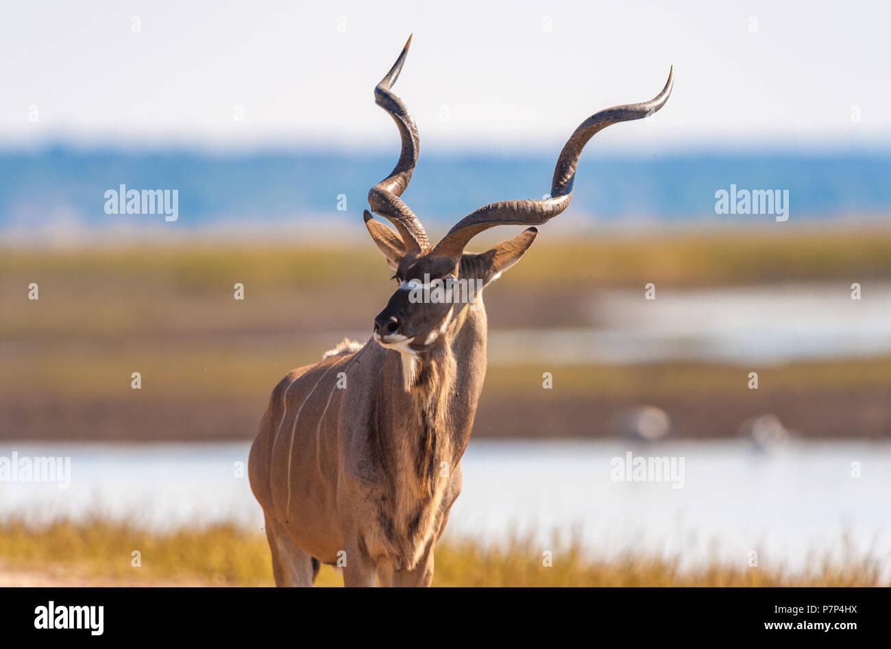 Kudu (Tragelaphus strepsiceros) in Chobe National Park - Stock Image