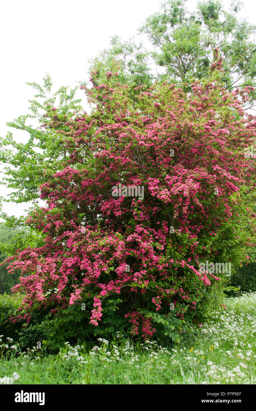 Hawthorn Tree in Blossom Spring Time - Stock Image