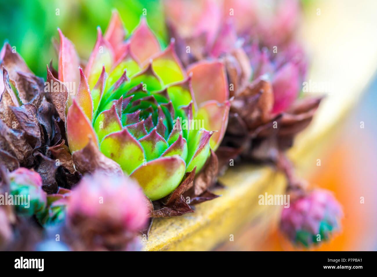 Sempervivum Tectorum Common Houseleek Perennial Plant Growing
