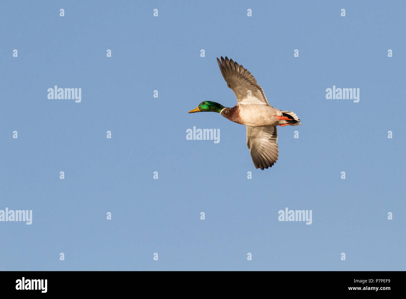 A mallard drake looking for a place to land. - Stock Image