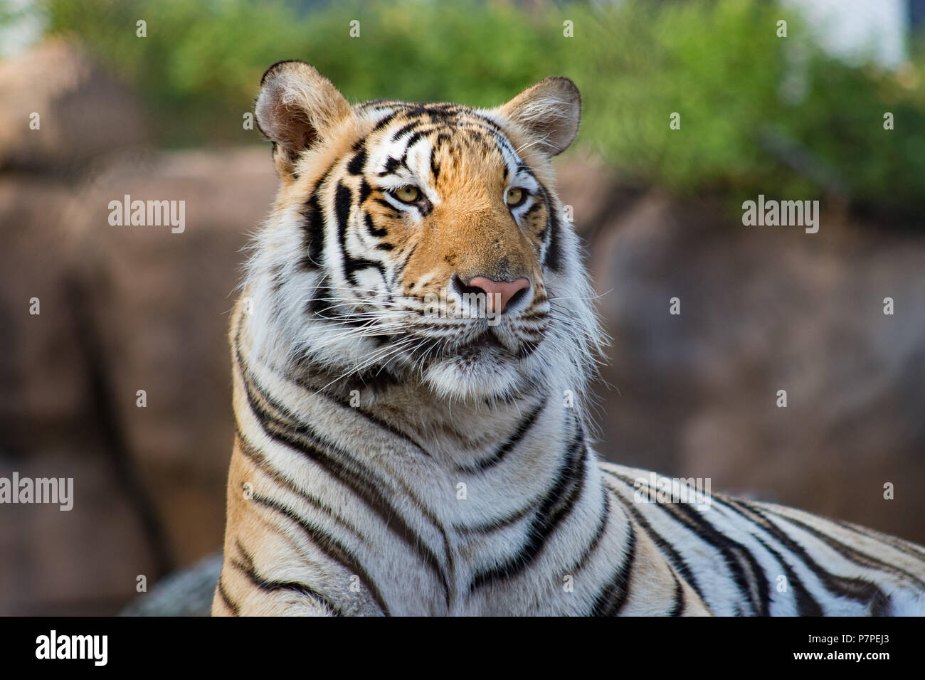 Louisiana State University's Live Mascot , Mike the Tiger. This tiger is LSU's 7th live mascot. Such a powerful and beautiful animal. - Stock Image