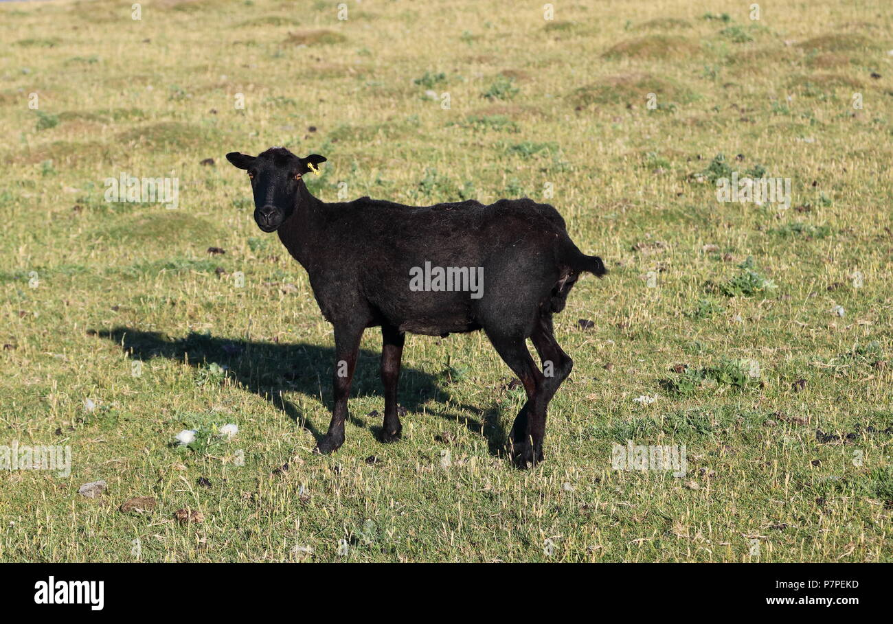 A truly black sheep with very short matty wool and odd whisps of white hairs amid the intense black wool, grazing on the cliff top on the sparce food. - Stock Image