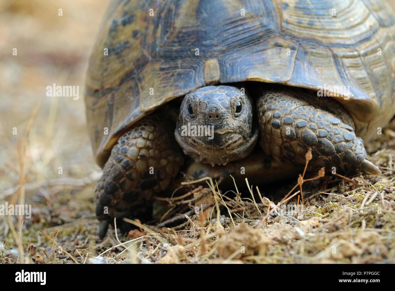 close up of testudo hermanni, turtle on natural mediterranean environment - Stock Image