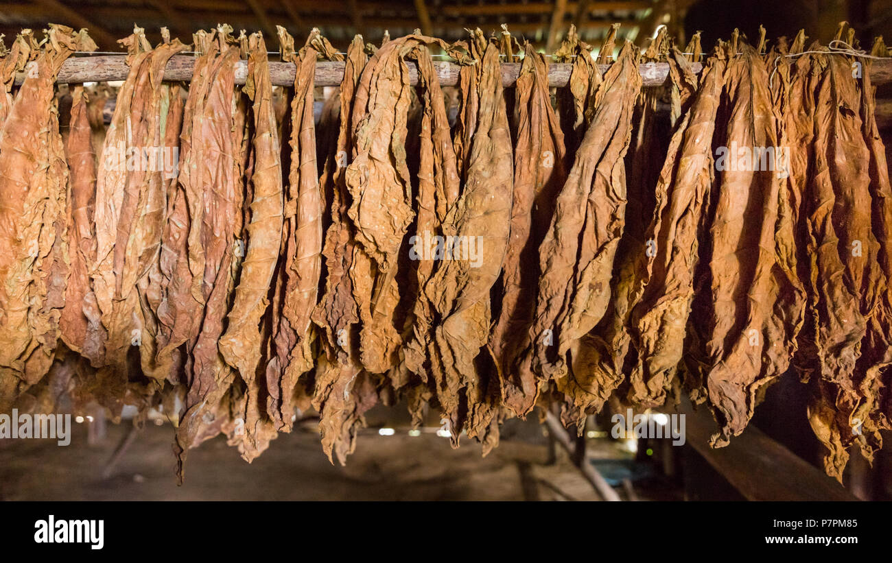 Tobacco leaves hanging to dry in old drying hut or shed, tobacco farm in Vinales Valley, Pinar Del Rio, Cuba - Stock Image