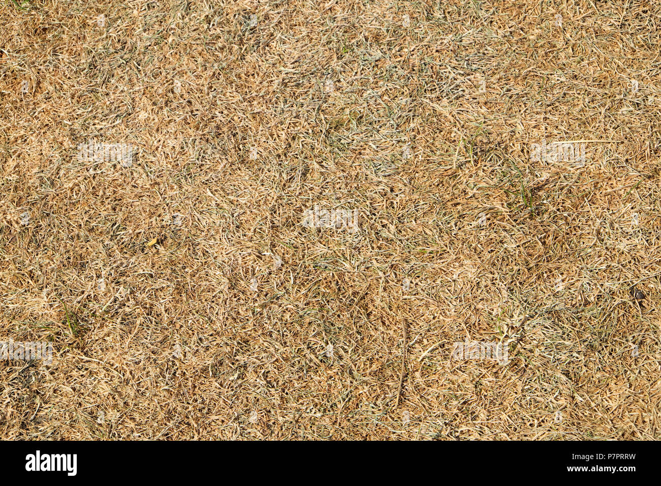 Close-up overhead view of dead grass on parched lawn in a garden in the 2018 heatwave in Wales, Great Britain UK - Stock Image