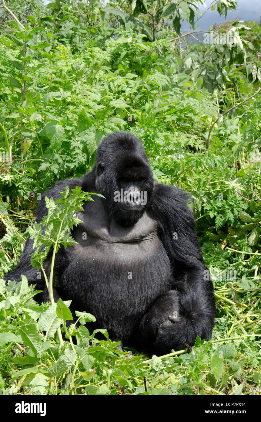 Silverback Gorilla of the Amahoro Group in the mountains of Volcanoes National Park, Kinigi, Ruhengeri, Rwanda, East Africa Stock Photo