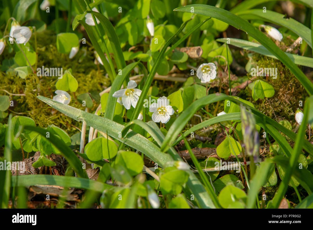 Wood sorrel flowering in woodland in spring - Stock Image