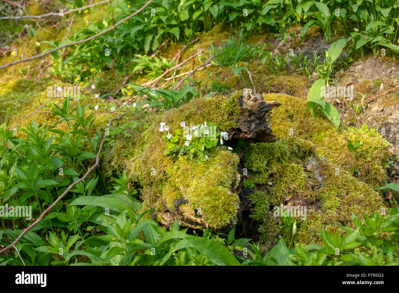 Wood sorrel growing on moss covered dead wood - Stock Image
