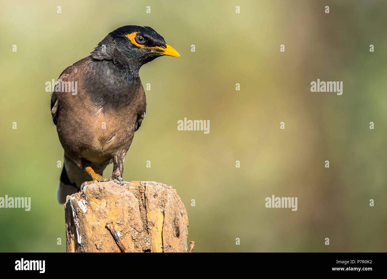 Common Myna in High Detail - Stock Image