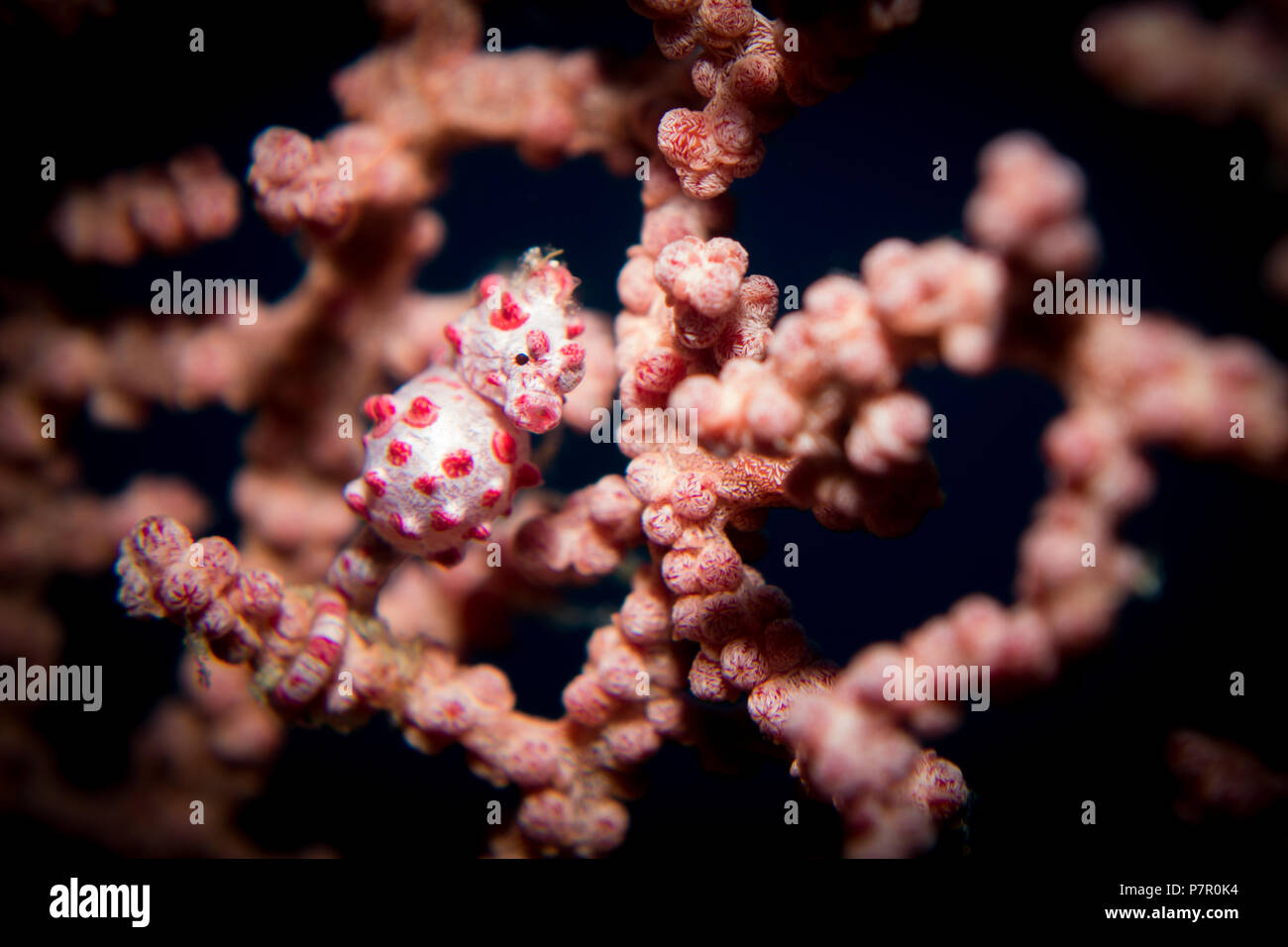 A Pygmy Seahorse - Hippocampus bargibanti - in its host gorgonion sea fan coral. Taken in Komodo National Park, Indonesia. - Stock Image
