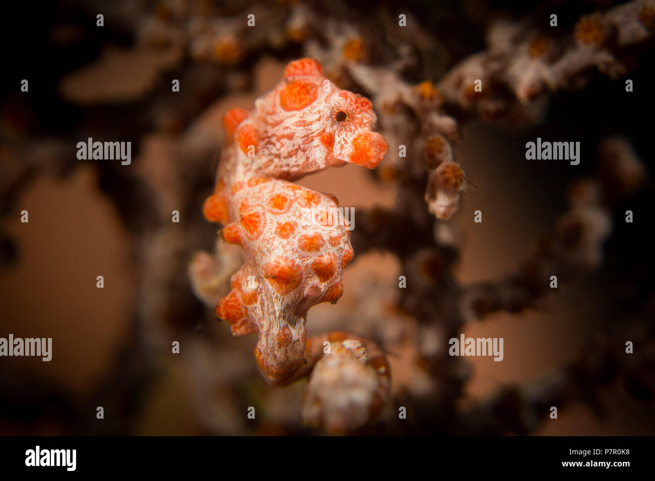 A Pygmy Seahorse - Hippocampus bargibanti - in its host gorgonion sea fan coral. Taken in Komodo National Park, Indonesia. Stock Photo