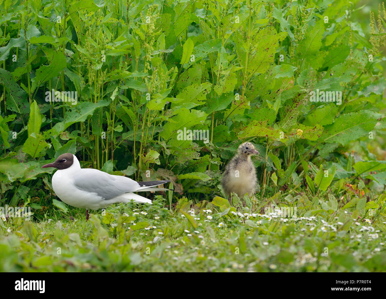 Black-headed Gull - Larus ridibundus  Adult and Chick on breeding grounds - Stock Image
