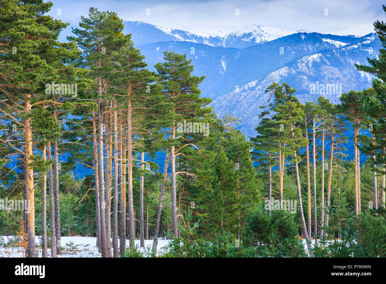Pine grove and mountains. - Stock Image