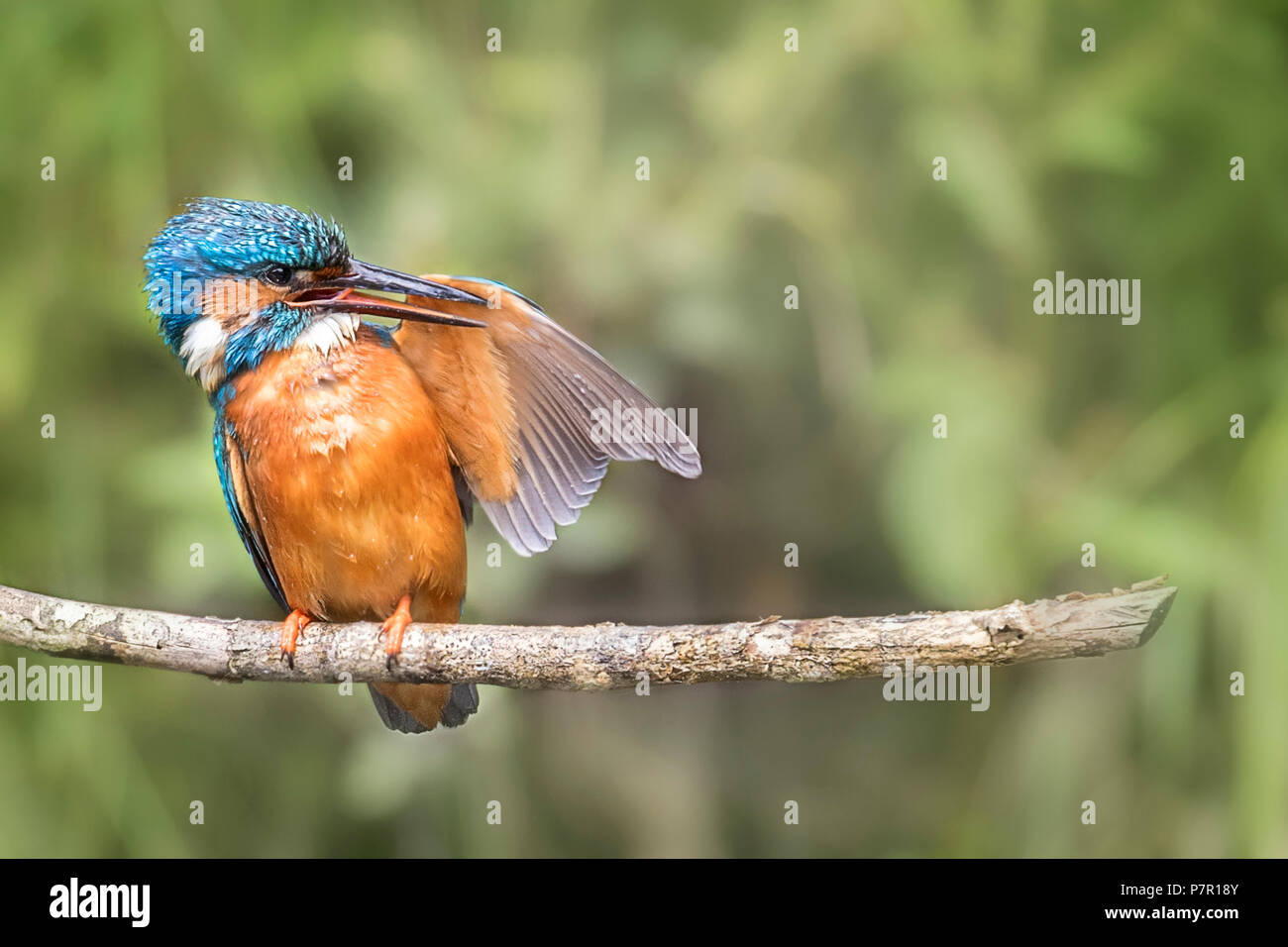 Common kingfisher preening wing feathers Stock Photo