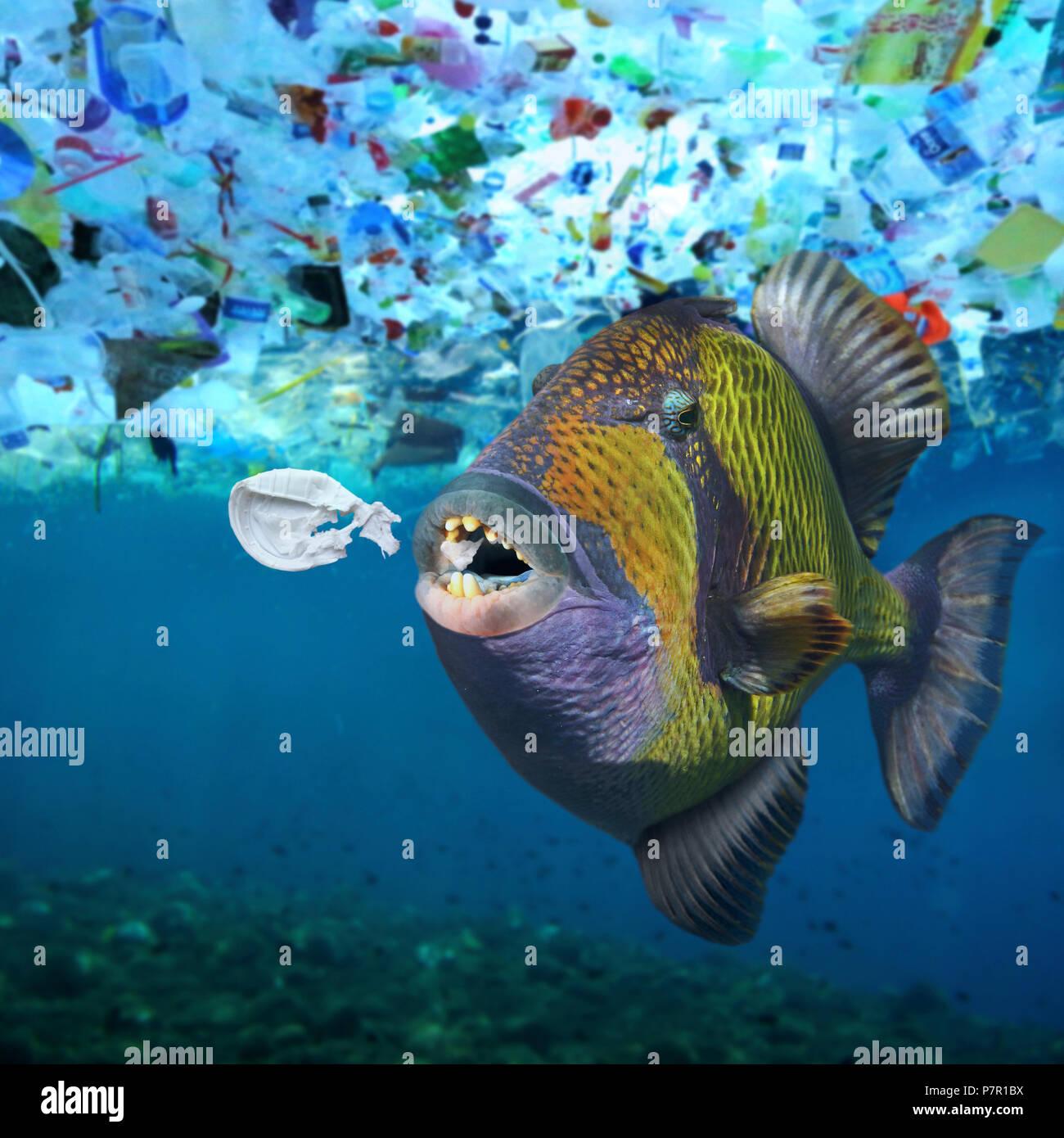 Titan triggerfish, Balistoides viridescens, eating a plastic object. - Stock Image