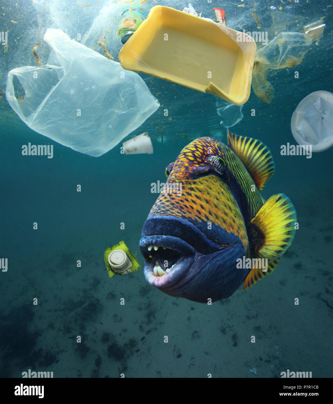 Titan triggerfish, Balistoides viridescens, eating plastic trash. - Stock Image