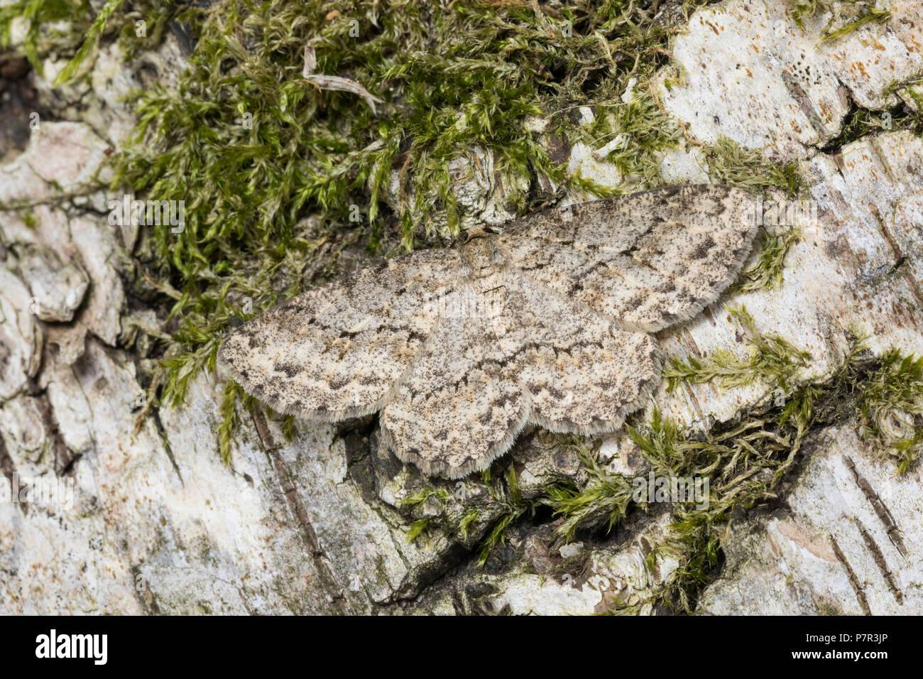 Zackenbindiger Rindenspanner, Pflaumenspanner, Ectropis crepuscularia, Ectropis bistortata, Boarmia bistortata, Engrailed, Small Engrailed, Small Engr - Stock Image