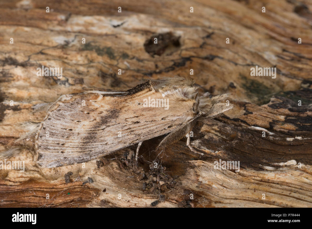 Palpen-Zahnspinner, Palpenzahnspinner, Palpenspinner, Palpen-Spinner, Pterostoma palpina, Pterostoma palpinum, Pale Prominent, Le Museau, Zahnspinner, - Stock Image