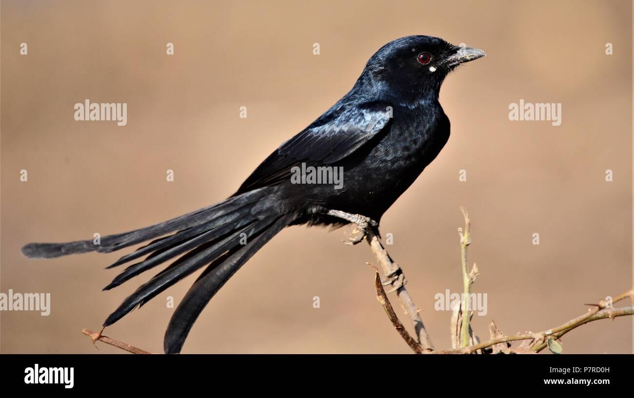 Shining Black Drongo / Black drongo - Stock Image