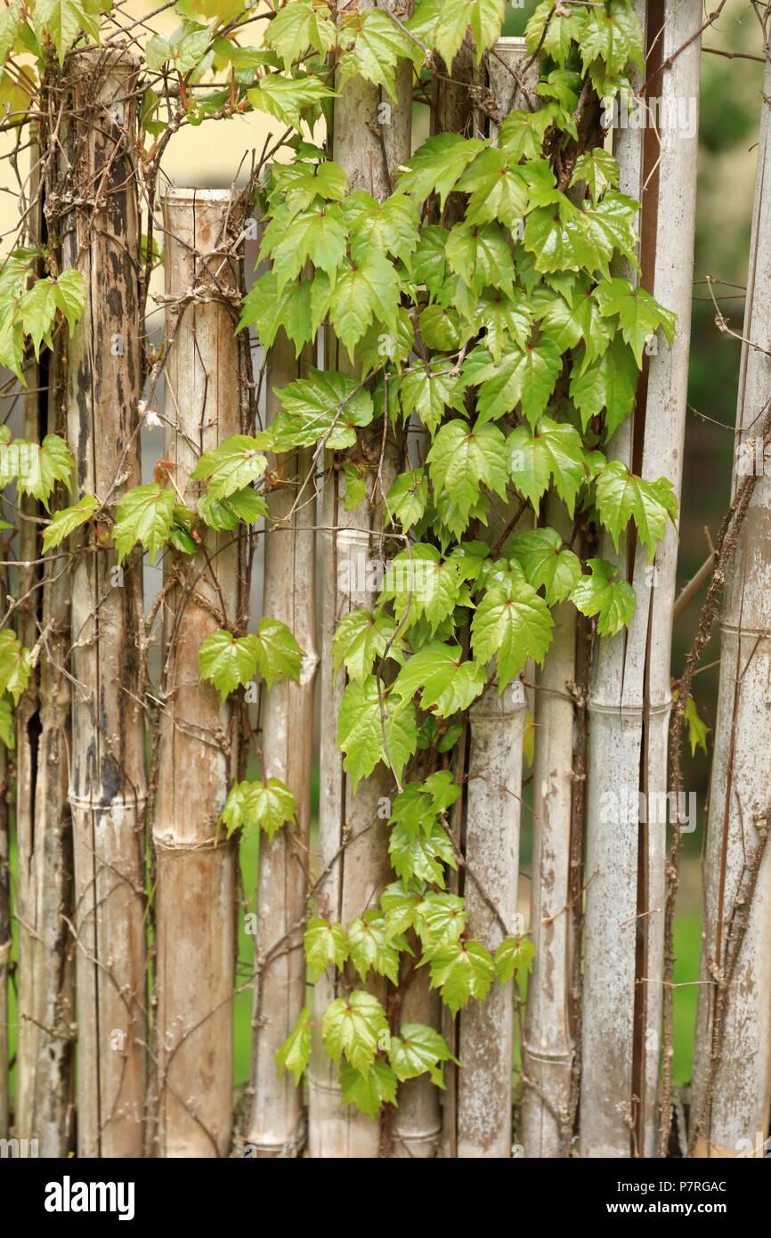 decorative bamboo fence stock photo image of ancient.htm bamboo fence garden stock photos   bamboo fence garden stock  bamboo fence garden stock photos