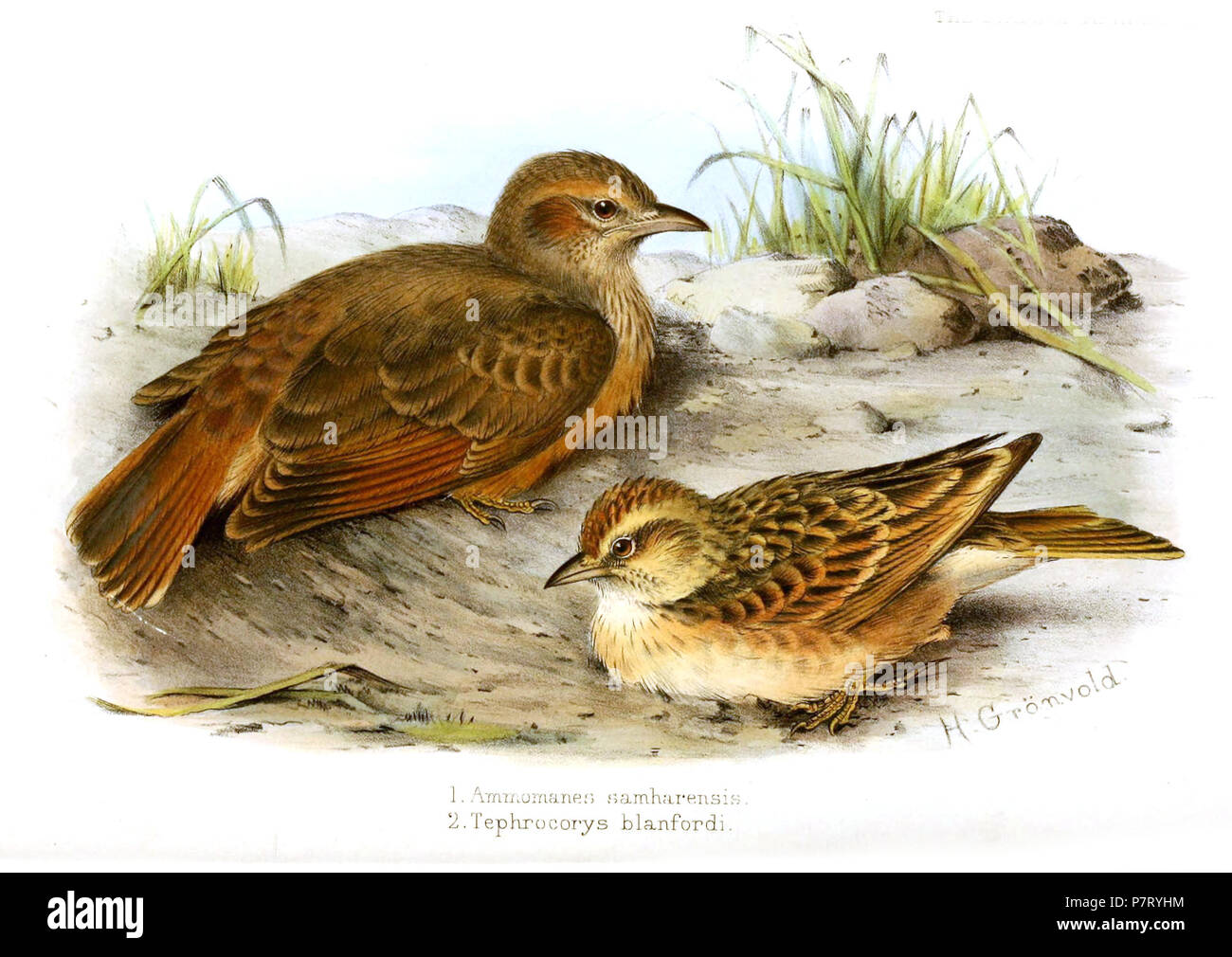 THE BIRDS OF AFRICA, PL. XXI. 1. Ammomanes samharensis 2. Tephrocorys blanfordi H. Grönvold English: Desert lark, Ammomanes deserti samharensis Shelley, 1902 (top), and Blanford's lark, Calandrella blanfordi (Shelley, 1902) (bottom) . 1902 20 Ammomanes Tephrocorys Gronvold - Stock Image