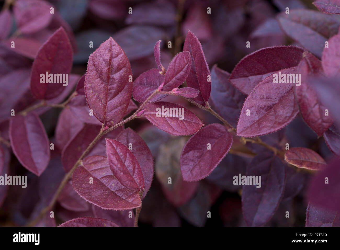 Loropetalum Stock Photos Loropetalum Stock Images Alamy