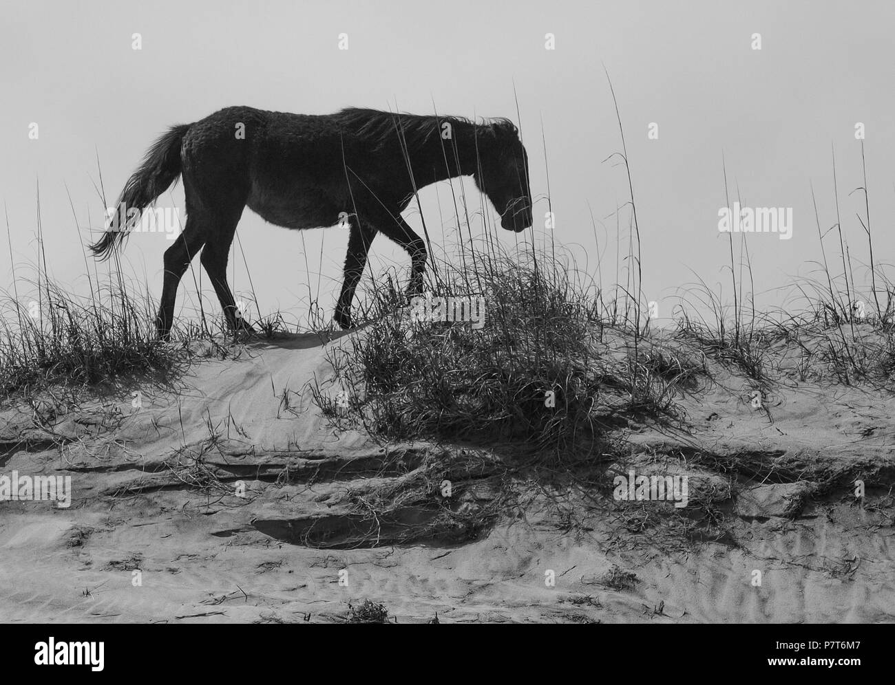 OBX Outer Banks NC North Carolina Seashore Ocean wild horses ponies asateague colts mare stallion - Stock Image