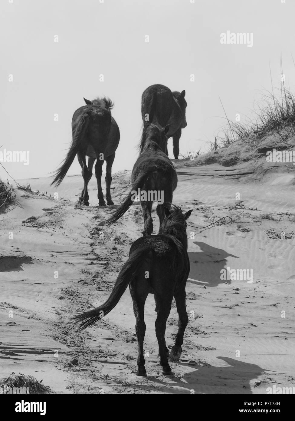 wildhorse corolla obx outer banks nc north carolina free range wild roam beach horses ocean soundfront asateague mustang mare stallion colt pony dunes - Stock Image