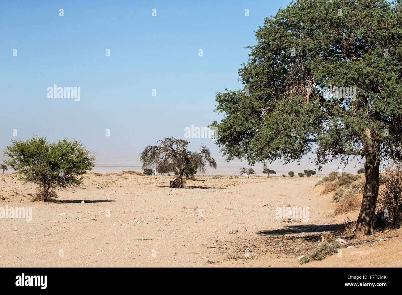 Camel thorn trees in a dry river bed in the Sperrgebiet near Aus.  Desert Scenery Namibia Stock Photo